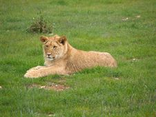 Free Lion Cub Royalty Free Stock Images - 5909979