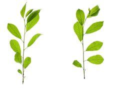 Free Leaves On White Royalty Free Stock Photos - 5910278