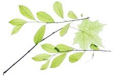 Free Leaves On White Royalty Free Stock Images - 5910289