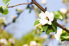 Free Spring Flower Blossom. Royalty Free Stock Photos - 5910598