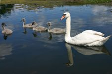 Free Swan Family Royalty Free Stock Images - 5911109