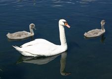 Free Swan Family Stock Image - 5911111