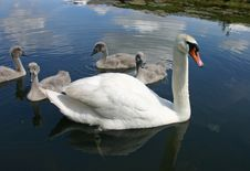 Free Swan Family Royalty Free Stock Images - 5911119