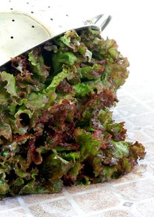 Free Washed Leaf Lettuce Royalty Free Stock Photos - 5911478