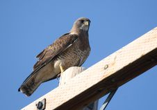 Free Swainson S Hawk Stock Photography - 5911652