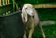 Free Sheep Royalty Free Stock Photos - 5913768