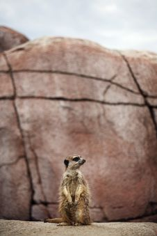 Free Meerkat On Guard Royalty Free Stock Image - 5914406