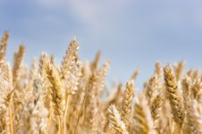 Free Grain And Wheat Stock Image - 5915121