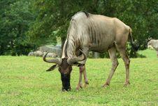 Free Gnu Grazing In A Green Field Stock Image - 5915141
