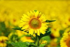 Free Sunflower Royalty Free Stock Images - 5915159