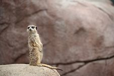 Free Meerkat On Guard Stock Photo - 5915210