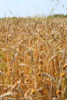 Free Grain Field Stock Photography - 5915282