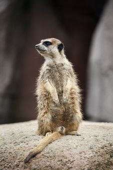 Free Meerkat On Guard Stock Photography - 5915362