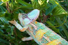 Free Veiled Chameleon Stock Photo - 5915780