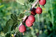 Free Red Gooseberry Royalty Free Stock Images - 5915859