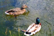 Free Ducks Couple Royalty Free Stock Photography - 5915907