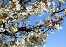 Free Spring Blossom Royalty Free Stock Photo - 5916045