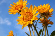 Free Spring Sunflower Stock Images - 5916054
