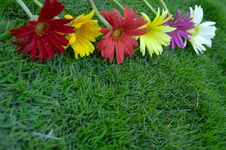 Free Daisies On Green Grass Royalty Free Stock Photo - 5916335