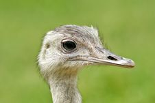 Free Ostrich Head Royalty Free Stock Images - 5916779