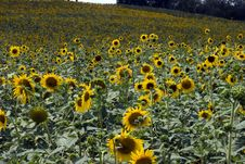 Group Of Sunflower Stock Images