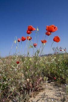 Free Poppy Field Stock Photography - 5918472