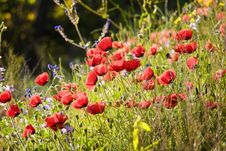 Free Poppy Field Stock Images - 5918514