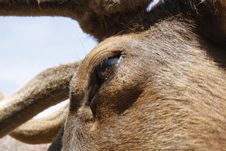 Free Eye Of Elk Royalty Free Stock Photography - 5918617