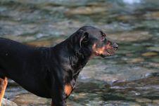 Free Rottweiler Stock Photos - 5918683