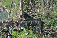 Free Rottweiler Royalty Free Stock Image - 5918686