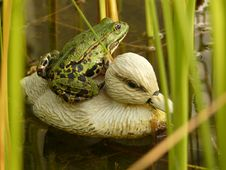 Free Frog Sitting On Plastic Duck And Wondering Royalty Free Stock Image - 5918816