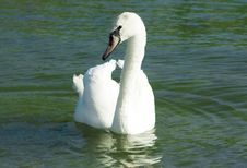 Free Wild Swans Near A Lakeshore Royalty Free Stock Photography - 5918847