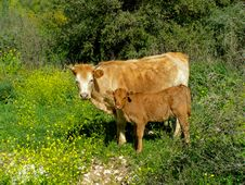 Free Cow Stock Images - 5918914