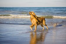 Free Golden Retriever Royalty Free Stock Photography - 5919057