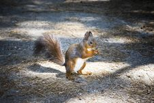 Free Squirrel Royalty Free Stock Image - 5919276