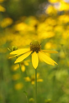 Free Yellow Flower Royalty Free Stock Photography - 5919377