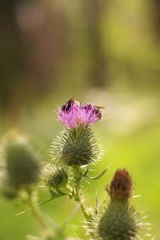 Thistle And Bumblebees Stock Photography