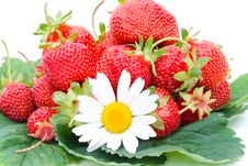 Free Strawberries And Chamomile Isolated On White Royalty Free Stock Photos - 5919848