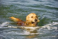 Free Golden Retriever Royalty Free Stock Photo - 5919985