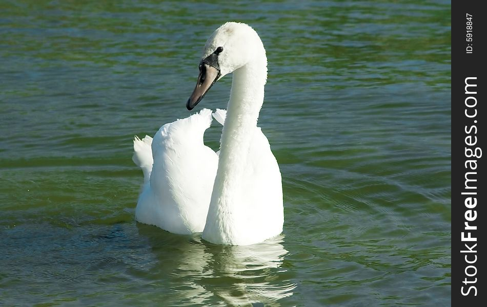 Wild swans near a lakeshore