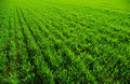 Free Grass Texture Royalty Free Stock Photos - 5922368