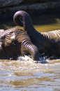 Free Mudwrestling Young Elephants Royalty Free Stock Photography - 5929257