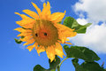 Free Sunflower Royalty Free Stock Photography - 5929347