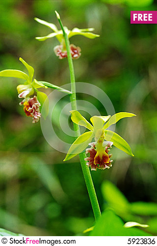 Free Wild Orchids Royalty Free Stock Image - 5923836
