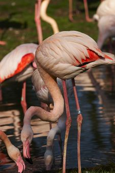 Free Flamingo Stock Photography - 5920002