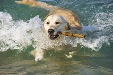 Free Golden Retriever Royalty Free Stock Photography - 5920047