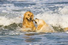 Two Golden Retrievers Royalty Free Stock Images