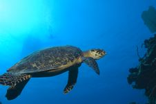 Free Turtle And Swimmer Royalty Free Stock Image - 5920206