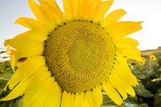 Free Sunflower Royalty Free Stock Photos - 5920228