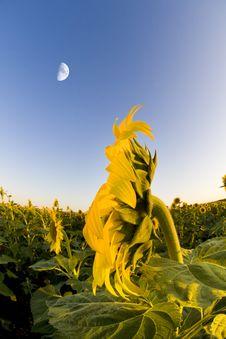 Free Sunflower Stock Image - 5920231